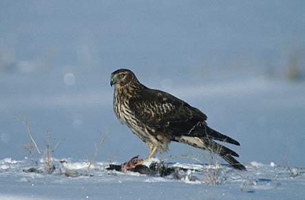 Довольно крупная птица легкого сложения, с длинными крыльями и хвостом.